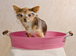 Chihuahua puppy taking a bath wearing goggles