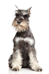Miniature schnauzer on white background