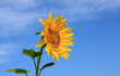 Цветок подсолнечника на фоне неба