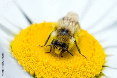 poster of Bee pollinating a flower
