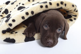 jeune labrador chocolat aux yeux bleus sous la couette