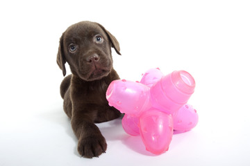 jeune labrador chocolat et son jouet
