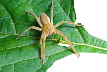 Spider (Pisauridae) on leaf 5