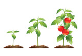 Tomato plant growth cycle