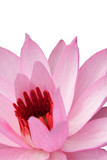 closeup of pink water-lilly
