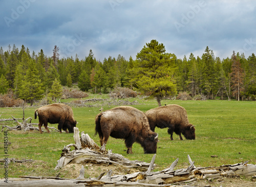 mountain valley with bisons and forest