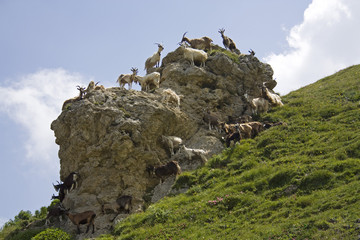 Ziegen, Versammlung beim Felsen