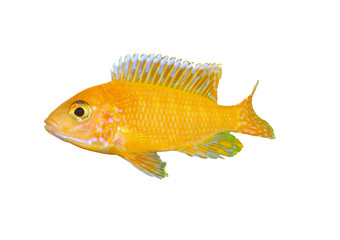 Aquarium Fish dwarf Cichlid-Aulonocara.