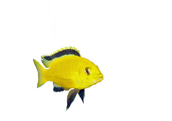 Aquarium Fish- Cichlid Hummingbird Yellow.