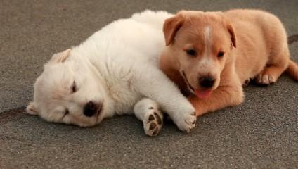 Cucciolo bianco e cucciolo miele