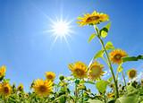 太陽とサンフラワー - Fine Art prints