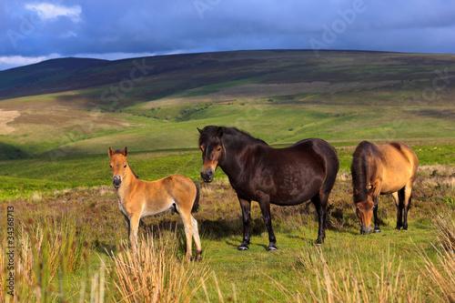 Fototapeten,england,pferd,pferd,fog