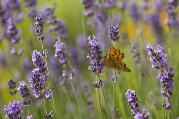Lavender and orange butterfly