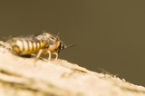 Diprion - pine pest poster