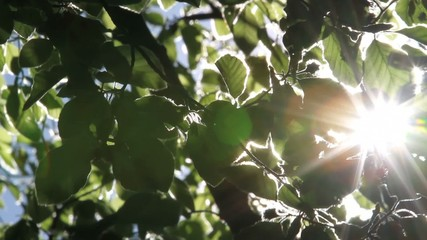 glow of the sun through the leaves