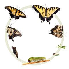 Life cycle of the Eastern Tiger Swallowtail butterfly