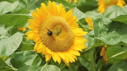 虫と向日葵