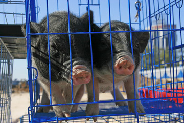 pet pigs in a cage