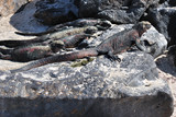 Marine Iguanas on a lava rock