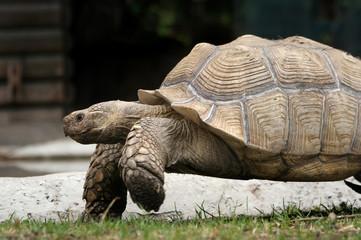 large image of very big tortoise