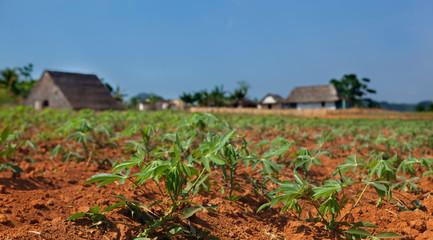 Cassava seedlings in Vinales valley, Cuba