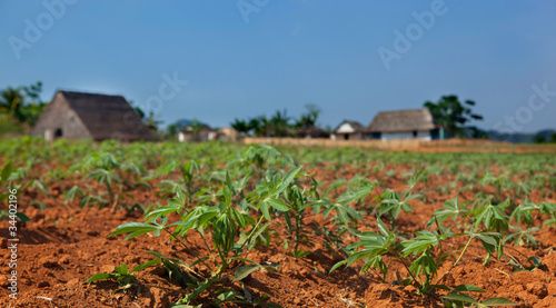 Cassava seedlings in Vinales valley, Cuba