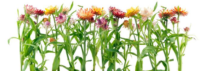 Border from strange immortelle flowers