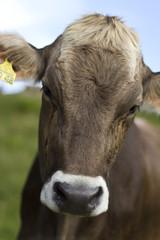 Portrait einer allgäuer Kuh