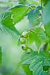Зелёная смородина