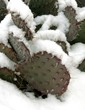 Prickly pear cactus in the snow