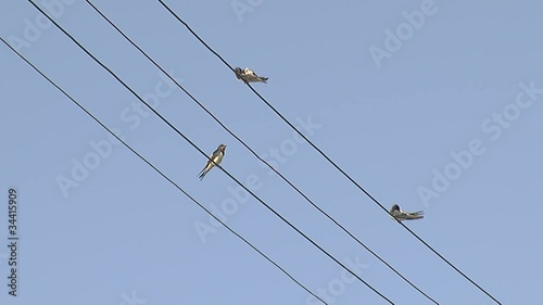 Swallows on the electric wires