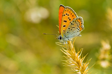 Orange butterfly with spotted wings having a short stop.