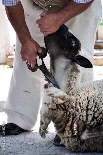 Esquilando una oveja a tijera