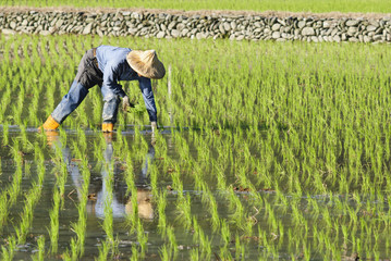 farmer working on paddy rice field