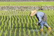 asian farmer planting on the paddy rice farmland .