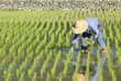 farmer planting paddy rice in asia.