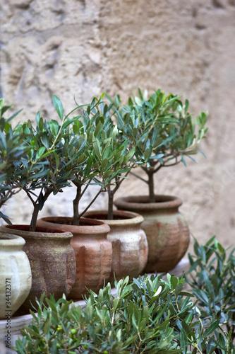 Olivier, huile, plante, méditerranée, sud, arbre, jardin, pot