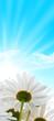 pâquerettes, fleur fond de ciel bleu soleil, énergie solaire