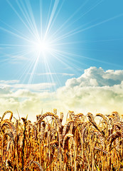 sunshine corn field