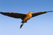purple heron in flight  on the blue sky (Ardea purpurea)