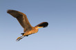 purple heron in flight isolated on the blue sky (Ardea purpurea)