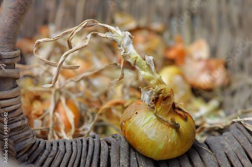 panier d'oignons,bulbs, récolte,osier