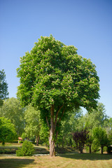 Chestnut tree with blossom