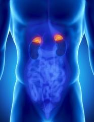 Male adrenal anatomy