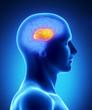 Corpus callosum - human brain part