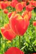 Rote Tulpenwiese im Gegenlicht