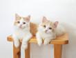 2匹の子猫(マンチカン)