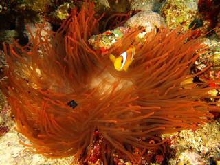anemone rosso