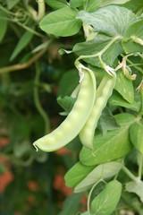 Sugar peas