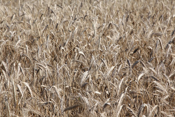 Field of ripe rye or wheat